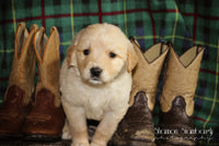 Parker: Male Golden Retriever (Full Price $650.00) Deposit