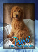 Pawz: Male Goldendoodle F1b (Full Price $575) Deposit