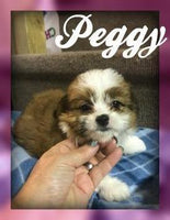 Peggy: Female Shihpoo (Full Price $750.00) Deposit
