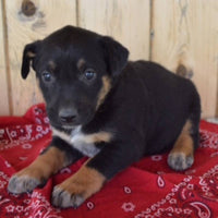 Female Blue Heeler mix puppy for sale near me