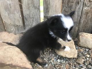 Peppi: Male Aussie Sheltie Mini Mix (Full Price $750.00) Deposit