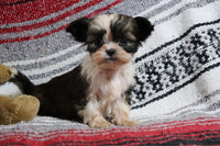 Shihtzu for sale in Pittsburgh