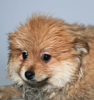 King Male AKC Pomeranian $999