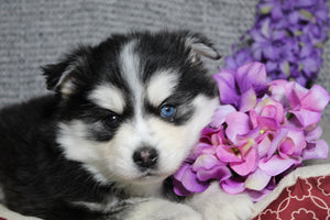 Pansie Female Pomsky $2100