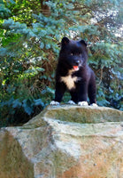 Lucy: Female Pomsky (Full Price $950) Deposit - Pups for sale in Ohio