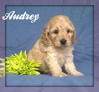 Audrey: Female Cockapoo Puppy ( Full Price $1495 ) Deposit