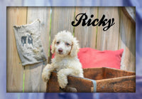 Ricky: Male Standard Poodle (Full Price $995) Deposit