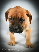 Daisy Female Presa Conari Boerboel Mix $1050