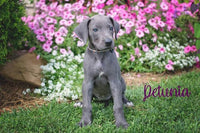 Petiemia: Female Great Dane Puppy (Full Price $1650.00) Deposit