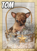 Tom Male Chihuahua $1200