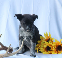 Ralf Male Blue Heeler Mix $900