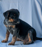 Ranger Male Blue Heeler Mix $600