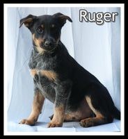 Ruger Male Blue Heeler Mix $900