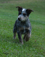 Randy Male Blue Heeler Mix $900