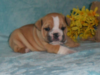 Brody Male Mini Bulldog $1795