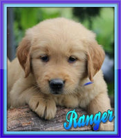 Ranger: Male Golden Retriever (Full Price $799.00) Deposit