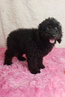 Raven: Female ACA Mini Poodle (Full Price $950) Deposit