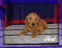 Red: Male Goldendoodle (Full Price $700.00) Deposit