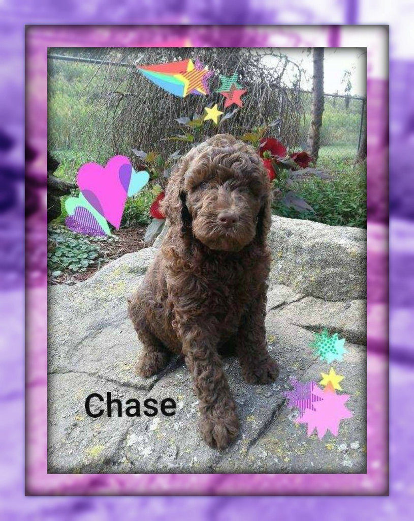 Chase Female Standard Poodle $950