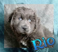 Rio: Male Newfoundland Mix (Full Price $850.00) Deposit