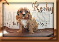 Rocky Male ACA King Charles Cavalier $1200