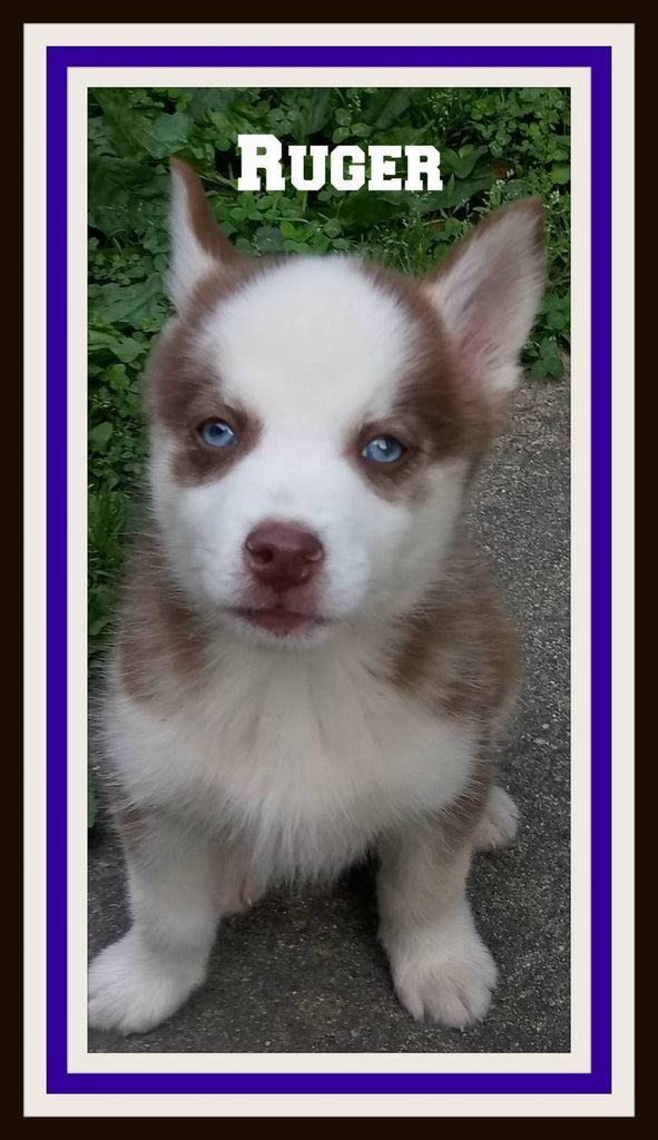 Male Husky for sale near me