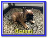 Russel Male French Bulldog $1800