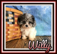 shihpoo puppies for sale near me
