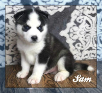 Sam: Male ACA Siberian Husky (Full Price $499) Deposit