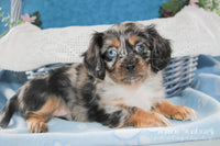 Sammie: Male Schweenie (Full Price $525.00) Deposit