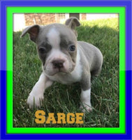 AKC Boston Terrier puppies for sale near me
