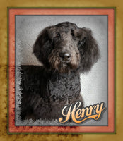 Henry Male Mini Schnoodle (Full Price $499) Deposit