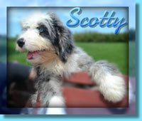 Scotty Male Mini Bernedoodle $999