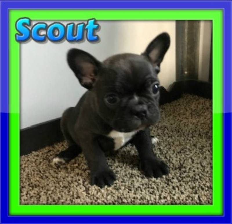 Male Frenchton puppies for sale near me