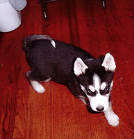 Husky for sale in Ohio