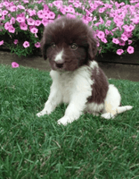 Reno: Male AKC Newfoundland (Full Price $700) Deposit
