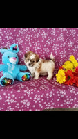 Tillie Female Shih-Chon Teddy Bear $699