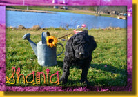 Shania Female Goldendoodle $850