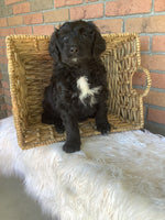 Chloe Female Poodle Mix $700