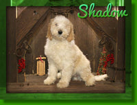 Shadow Male Sheepadoodle $1000