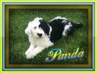 Panda: Male Sheepadoodle (Full Price $1499.00) Deposit