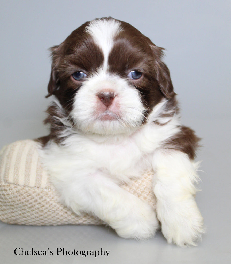 Latee Male Shihtzu $2000