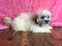 Female Shih-Chon puppies for sale near me