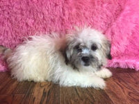 shihchon puppy for sale near me