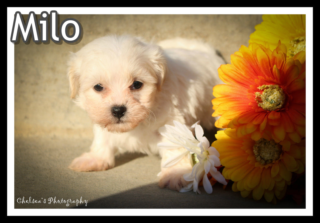 Milo Male Shih-Chon Teddy Bear $1095