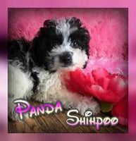 Panda Female Shihpoo $800.00