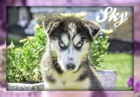 Siberian Husky Puppies for sale in Ohio