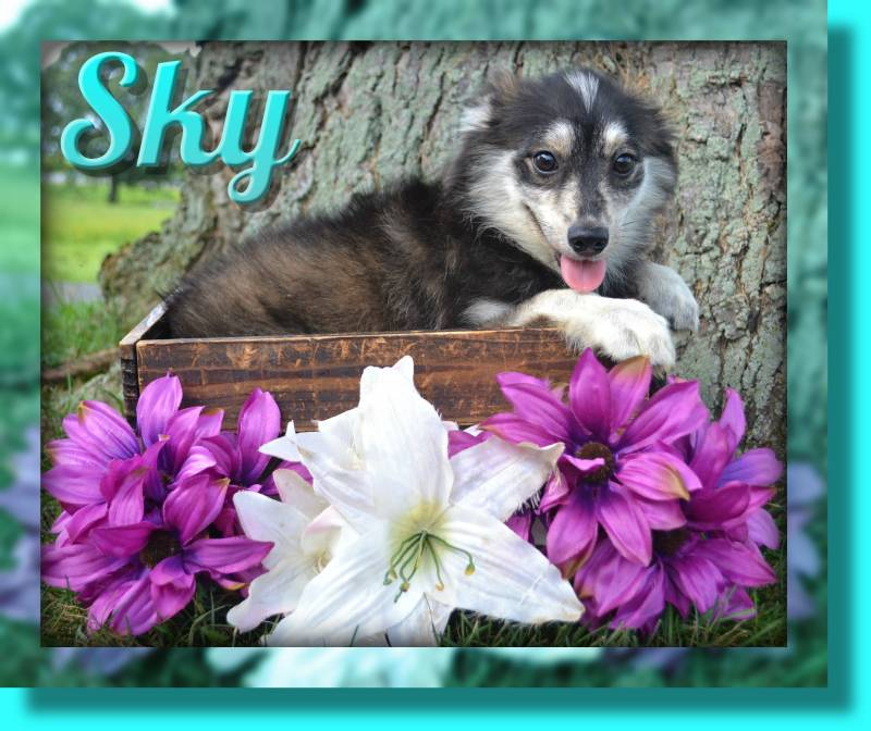 Pomsky in Ohio