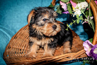 Smokey: Male Yorkie (Full Price $899.00) Deposit