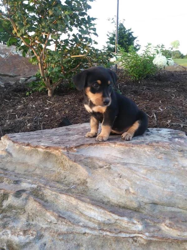 Sophie Female Miniature Pinscher Mix $300 | That Doggy in